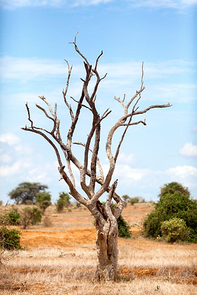 TREE, SOUTH AFRICA