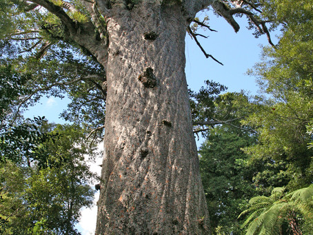 Auckland Council successful in first kauri dieback prosecution