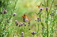 Butterfly and Thistle.jpg