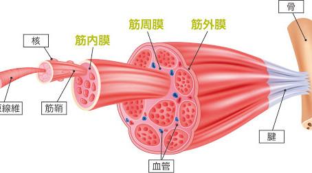 (2)筋膜のつながり