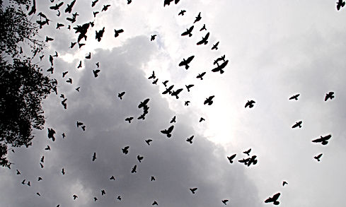 Birds_flying_at_Sky_2.JPG