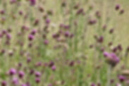 Thistles_in_the_Swan_Lake_NSA_2.jpg