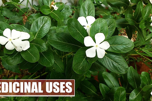 PERIWINKLE HERB C/S (Vinca major)