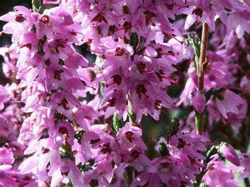 HEATHER-Bach Flower Remedy