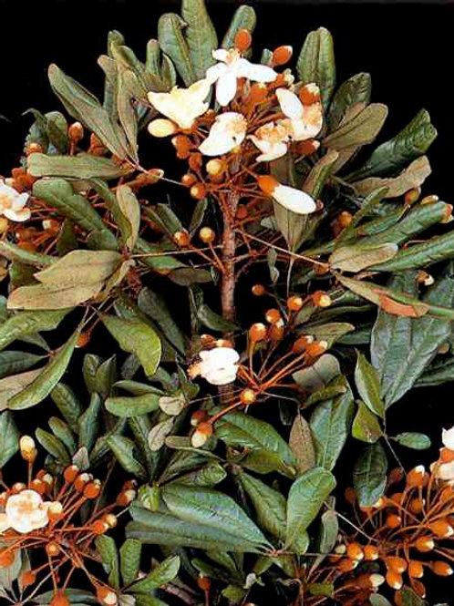 CATUABA BARK POWDER~ORGANIC (Trichilia catigua)