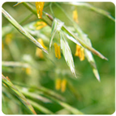 WILD OAT-Bach Flower Remedy