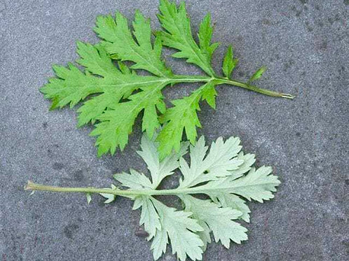 Mugwort (organic, cut & sifted)