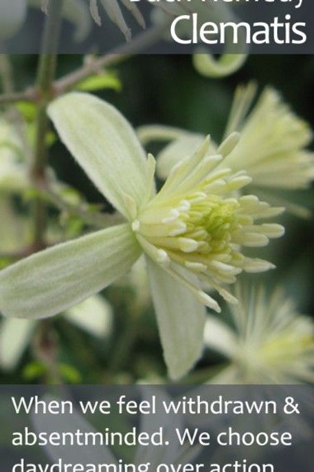 BACH FLOWER CLEMATIS (CLEMATIS VITALBA)