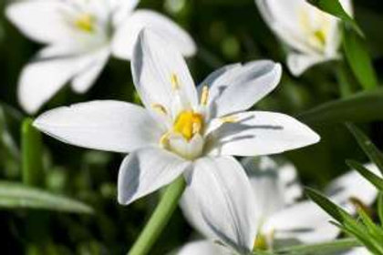 STAR OF BETHLEHEM-BACH FLOWER REMEDY