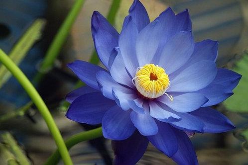 Blue Lotus Flowers~ Dried Deep Purple Thai