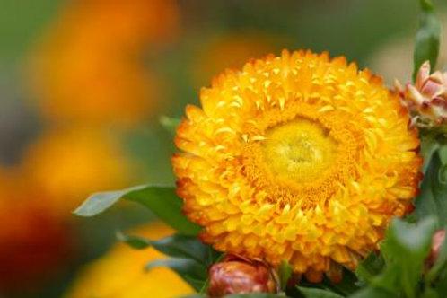 Helichrysum Essential Oil~(Helichrysum italicum)