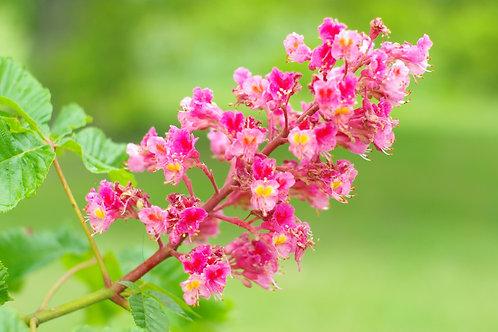RED CHESTNUT-Bach Flower Remedy