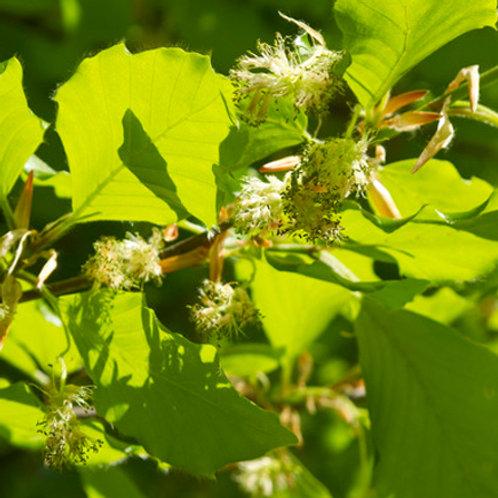 BEECH-Bach Flower Remedy
