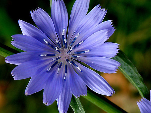 CHICORY-Bach Flower Remedy