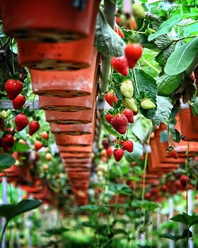 6965363-Big-Red-Strawberry-Farm--Cameron