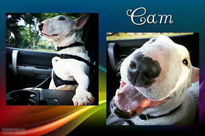 dog english bull terrier florida rescue