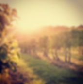 castelli_vineyard.jpg