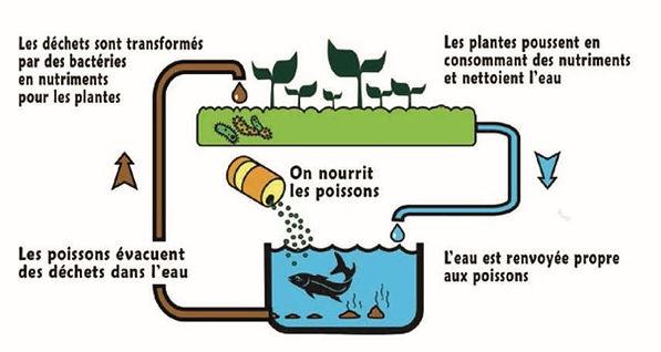 aquaponie schema.jpg