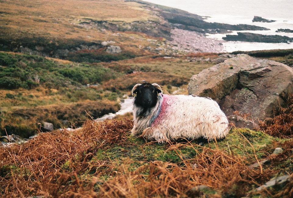 sheep_ireland_wildatlanticway.jpeg