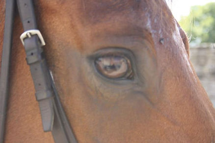 Gros plan tête de cheval