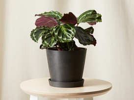 Air-Purifying, Pet-Friendly House Plants