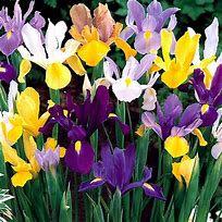 Iris Hollandia  bulbs in the green