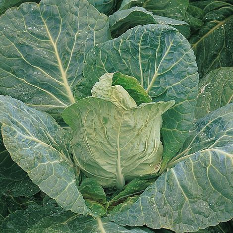 Cabbage April spring