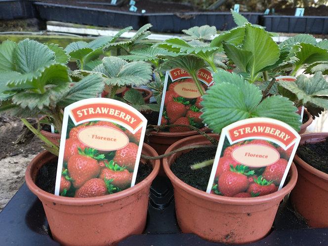 Florence  Strawberry plant very popular
