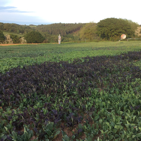 Great  News - all spring sown brassica plants are now available for sale , place your orders now .