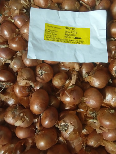 Red Sun Onion Shallot