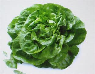 Vanessa  Short Day Butterhead Lettuce split pills  seed