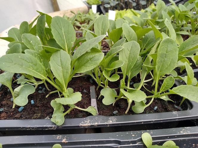 Japanese greens Mizuna starter plant seedlings