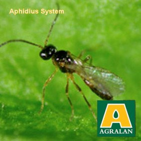 Aphid Control in Greenhouses with Aphidius System