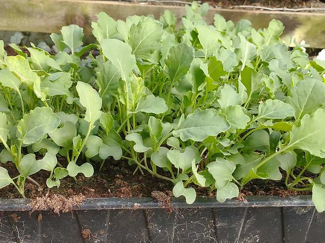 Broccoli Green  Sprouting  starter plants