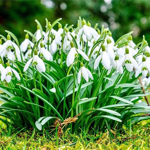 Snowdrops  25 bulbs Galanthus Nivalis 4 cm +