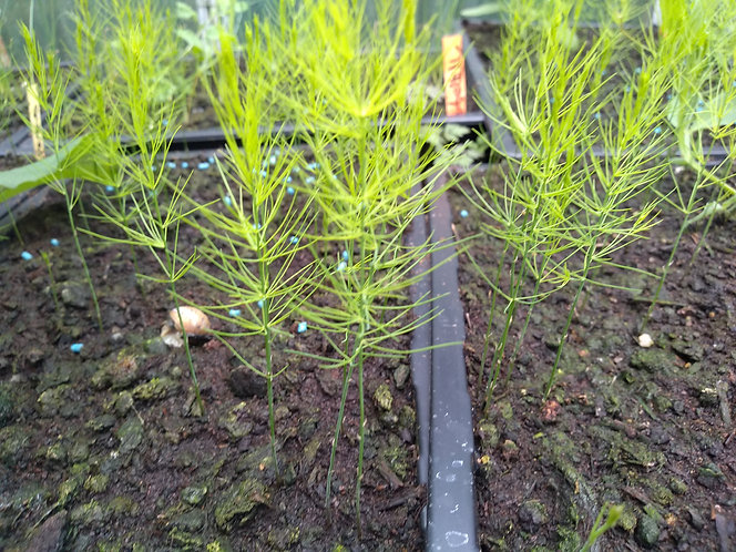 Asparagus Connivers Colossal starter seedlings plants