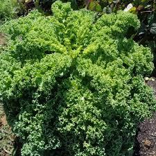 Borecole Kale Kadet