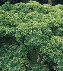 Thousandhead Borecole Kale plants