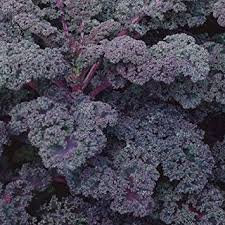 Kale Scarlet Curly kale