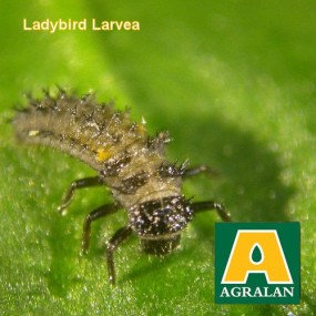 Aphid Control with Ladybird Larvae- natural pest control  20 m2
