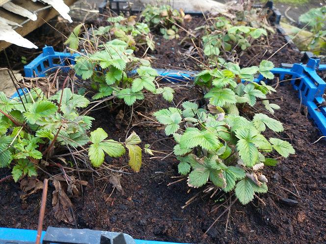 Alexandria  Alpine type Srawberry plants