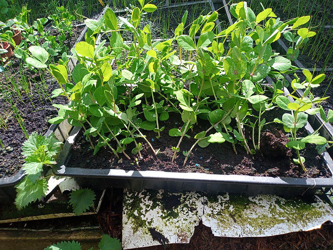 Carouby De Maussane Mangetout type garden peas