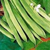 White Emergo Runner Bean seeds