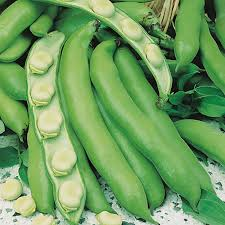 Broad Beans Imperial Green Windsor seeds fantastic flavoured  heritage  variety