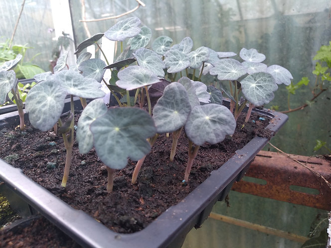 Edible Nasturtium Pepperspark starter seedling plants