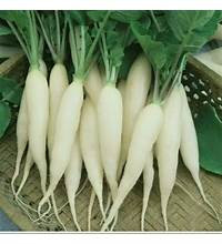 White Icicle Radish  starter plants