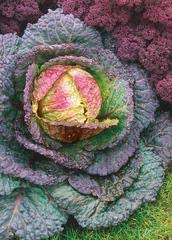 Savoy Cabbage Violaceo di Verona dark green and tinged with pink