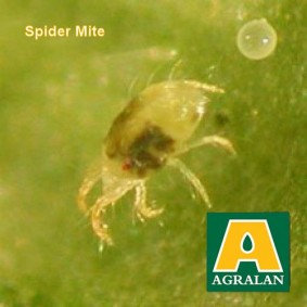 Spider Mite Control with AABS system natural biological control