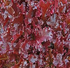 Lettuce seed Red Salad Bowl fast growing variety