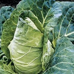 Durham spring Cabbages